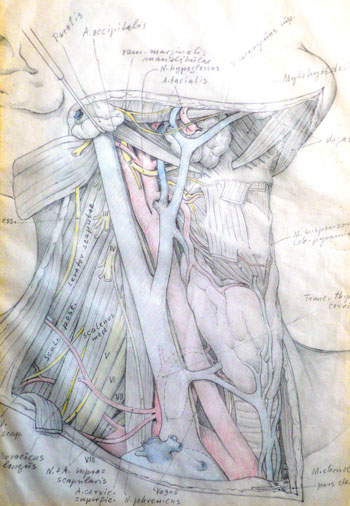Anatomie der Schilddrüse