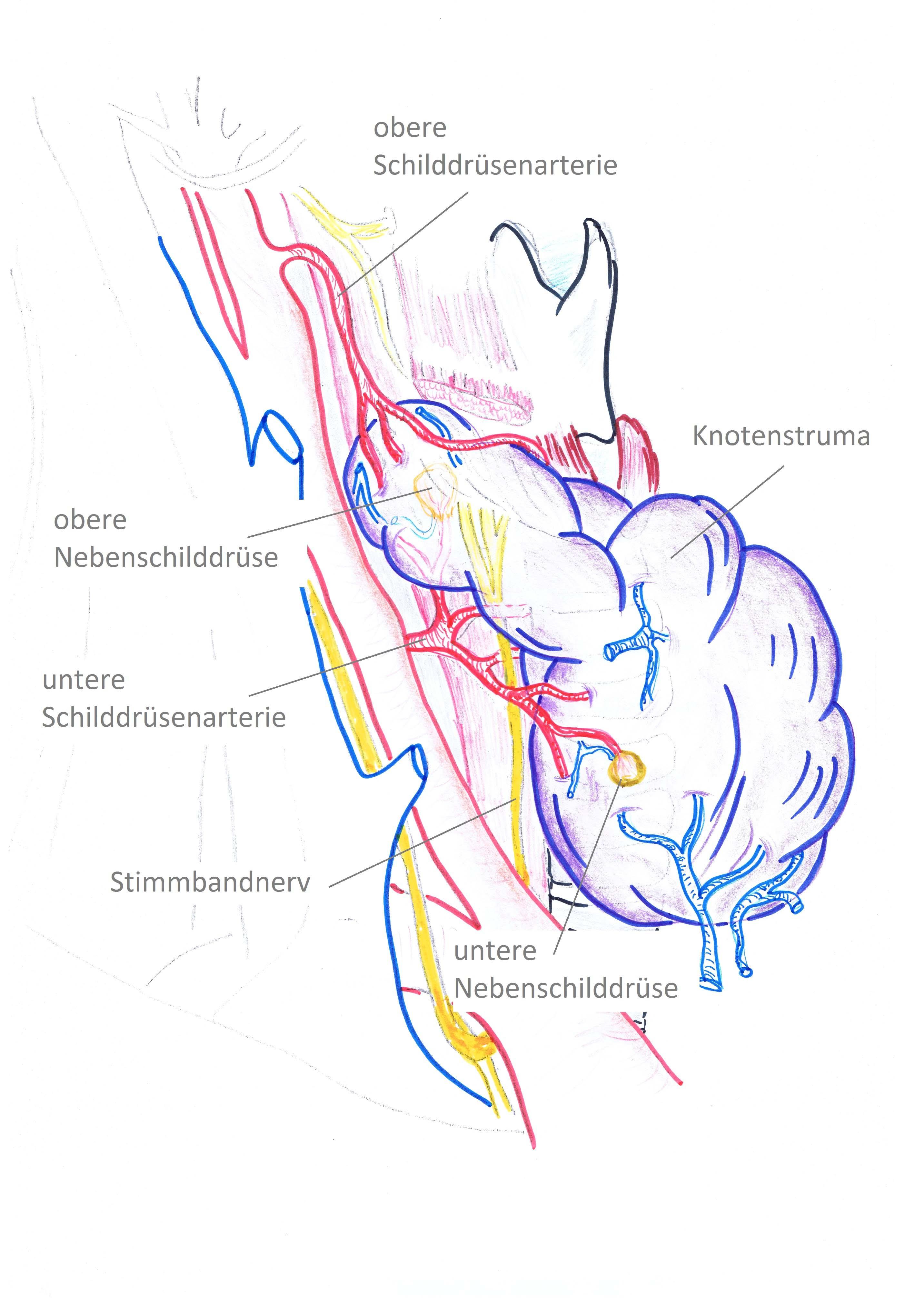 Schematische Skizze mit Stimmbandnerv und Nebenschilddrüsen
